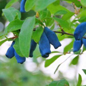 Kamčatska borovnica - haskap