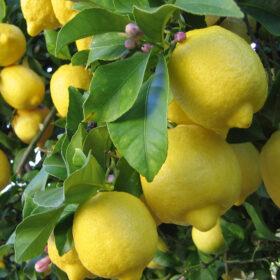Mediteransko sadje