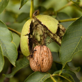 Lupinasto sadje