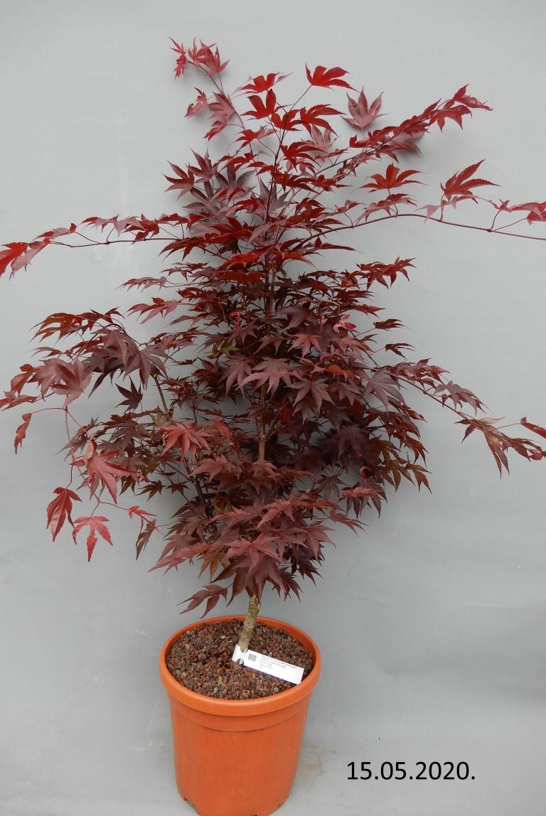Japanski Javor Fire Glow 300 kn