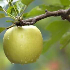 Jezgričavo voće