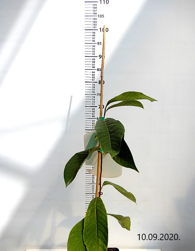 Asimina Sunflower