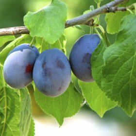 Koščičasto sadje