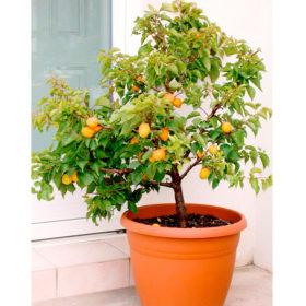 Patuljaste voćne sadnice