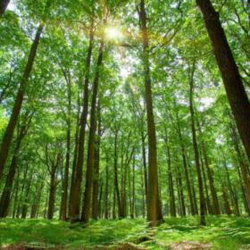 Gozdne sadike