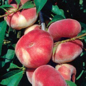 Plosnata breskva/nektarina