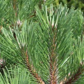 Pinus - bor