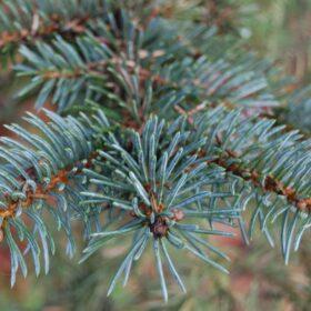 Picea - smreka