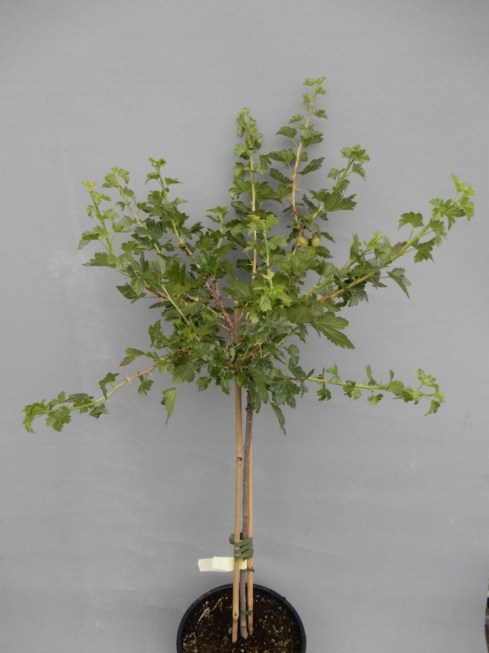 Ogrozd žuti stablo 80kn