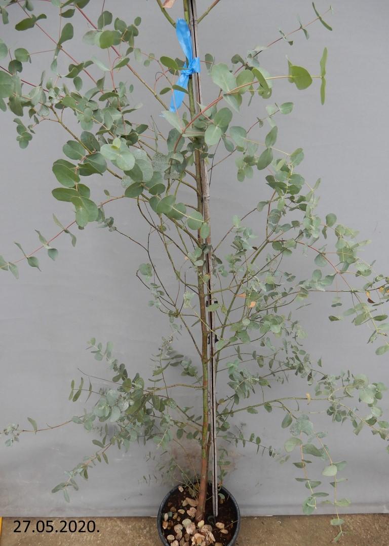 Eukaliptus 100kn