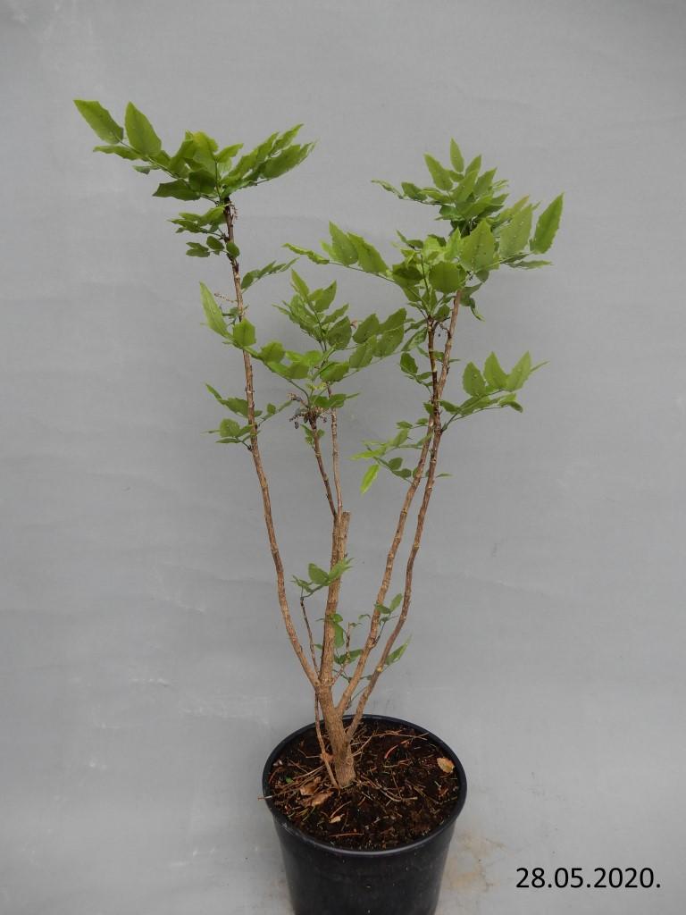 Mahonia Aquifolium 30kn