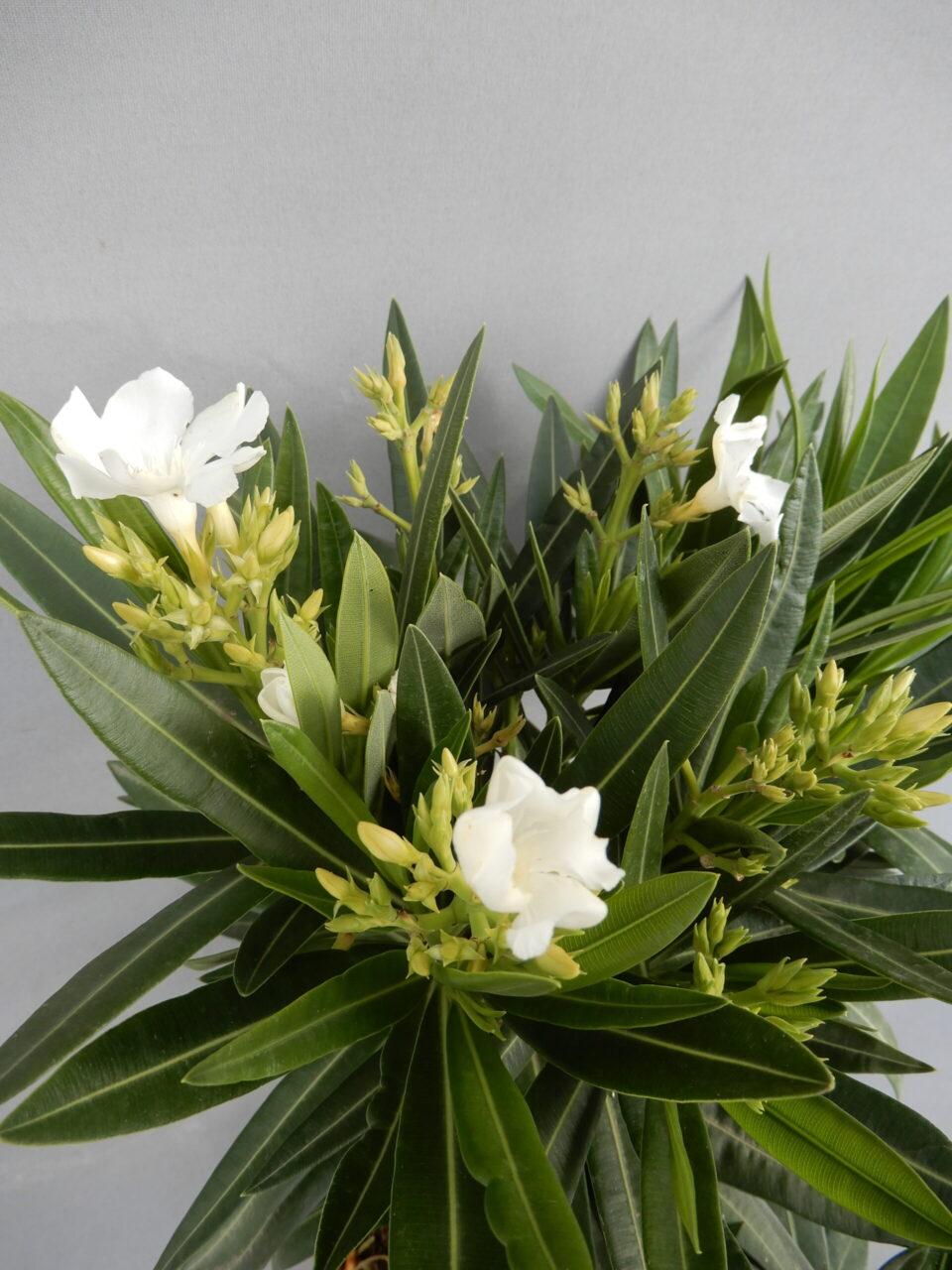 Oleander bijeli 100kn
