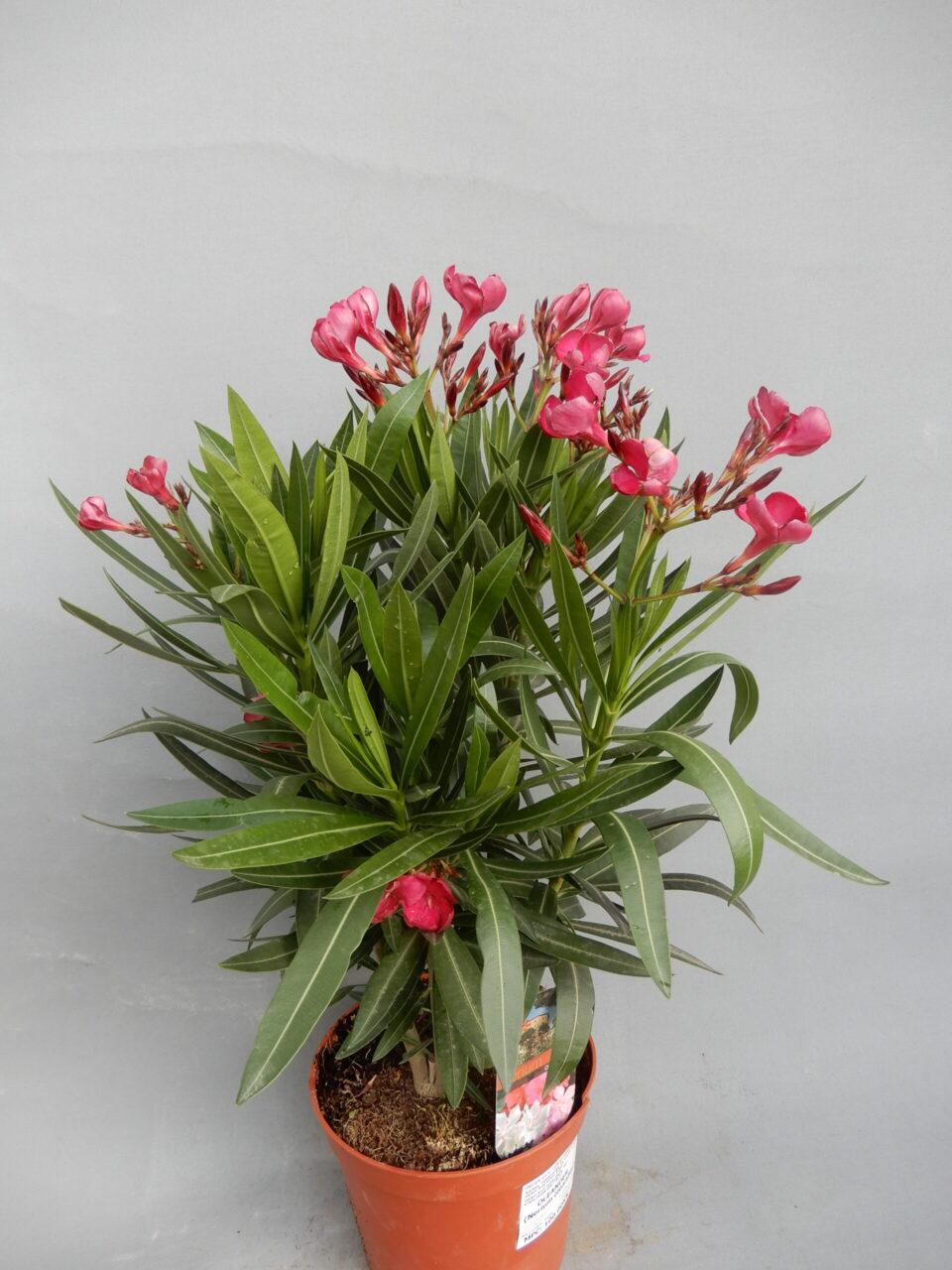 Oleander rozi 100kn
