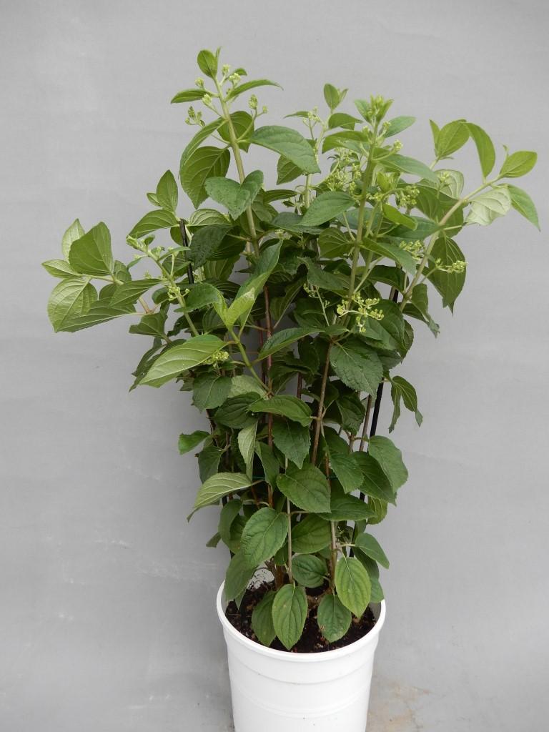 Hortenzija paniculata