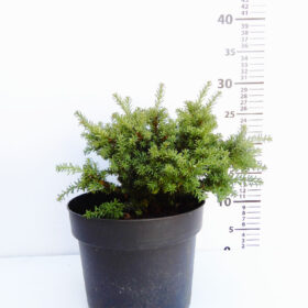 Podocarpus lawrencei Red tip