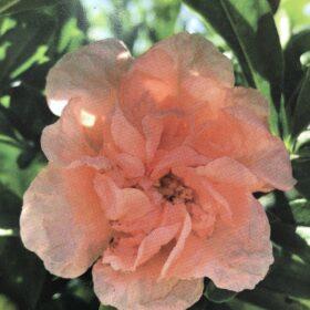 Ukrasni nar, roza cvijet