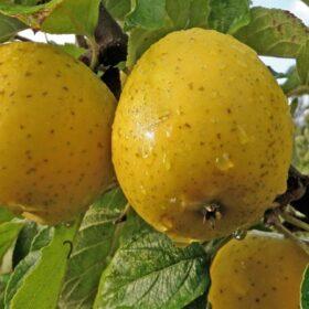 Ananas reneta