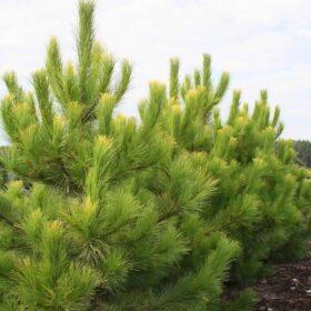 Pinus – višje