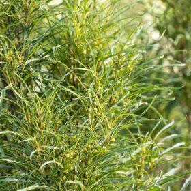 Dekorativni rakitovec 'Asplenifolia'